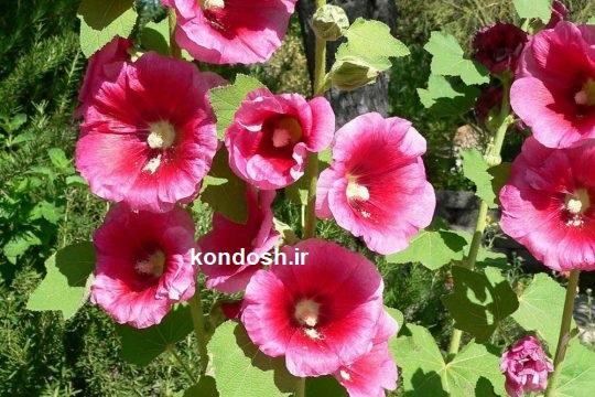 خواص گل ختمی برای بدن