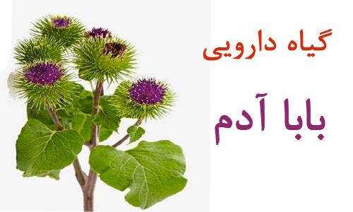 گیاه بابا آدم و خاصیت درمانی آن