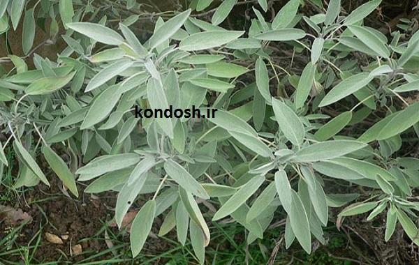کاربرد گیاه مریم گلی برای سلامت موها